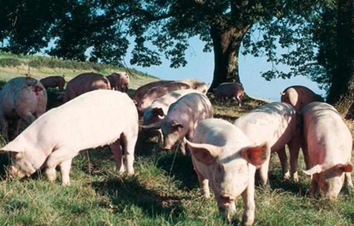 Porcs fermiers du sud-ouest label rouge (Ph Irqualim)