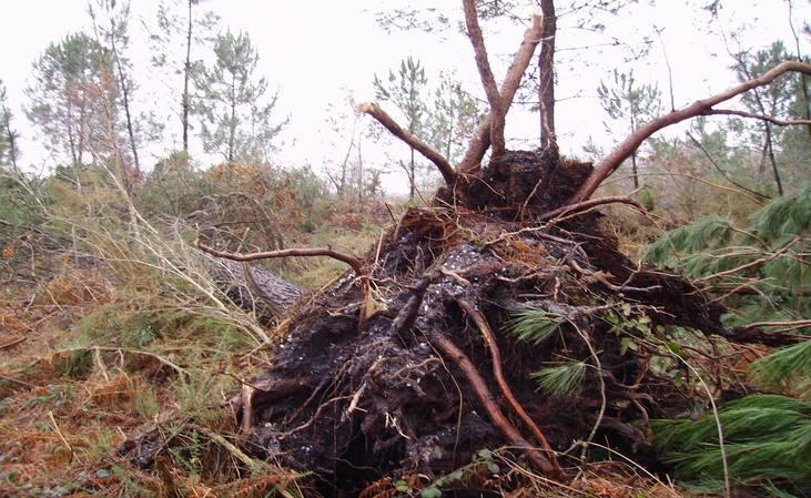 La grande faiblesse du pin maritimedu côté de Saucats, en Gironde (ph Paysud)