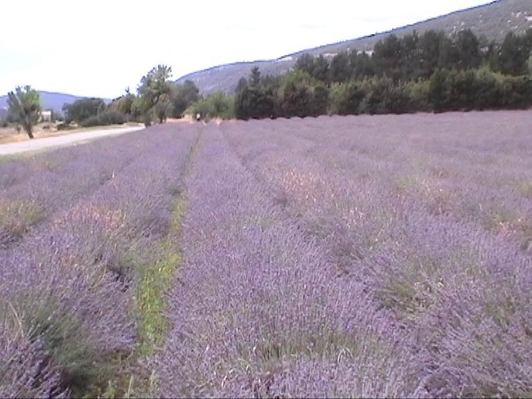 Voyage dans la Provence couleur lavande