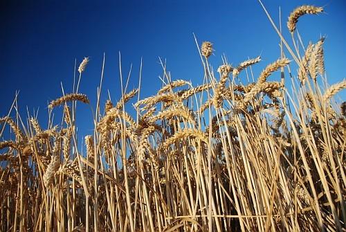 Embellie pour les céréales (Ph Arvalis)