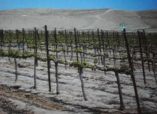 Essai d'implantation de vigne dans le désert du Néguev (ph copie de projection)