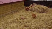 Présentation de volailles au Salon de l'agriculture d'Aquitaine (Ph Paysud)