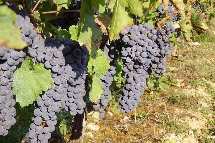 Vigne de cabernet-sauvignon (ph Paysud)