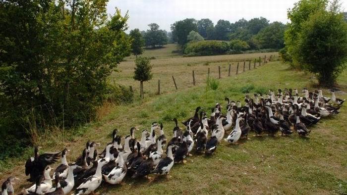 Sale temps pour les canards (ph Ministère Agriculture)