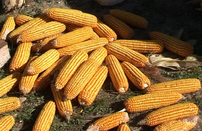 Le maïs du sud-ouest largement concerné (ph Paysudtv)