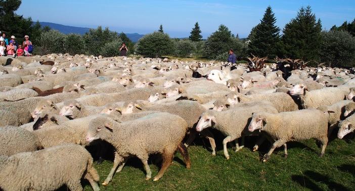 Un troupeau de 1000 moutons... (ph DR)