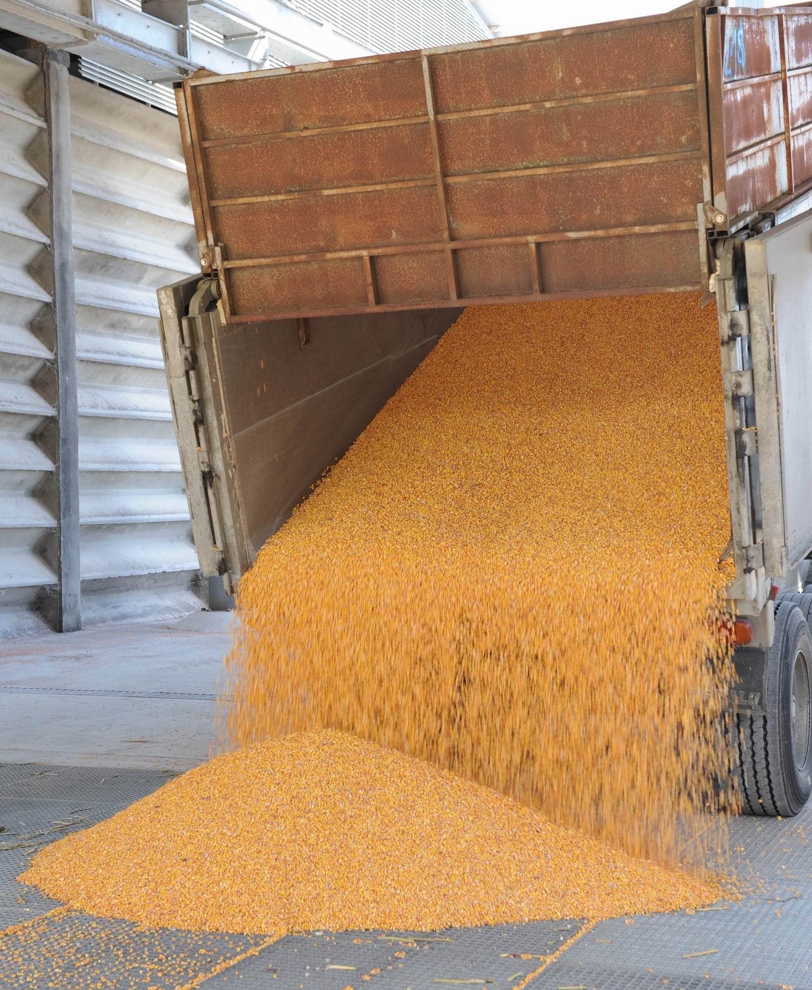 Manutention de maïs (Ph Maïsadour)