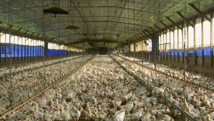Poulets aux USA (ph USDA)