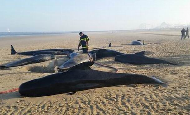 Des scientifiques de La Rochelle sur la piste des baleines échouées de Calais.