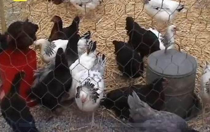 Sale temps pour les volailles (ph Paysud)