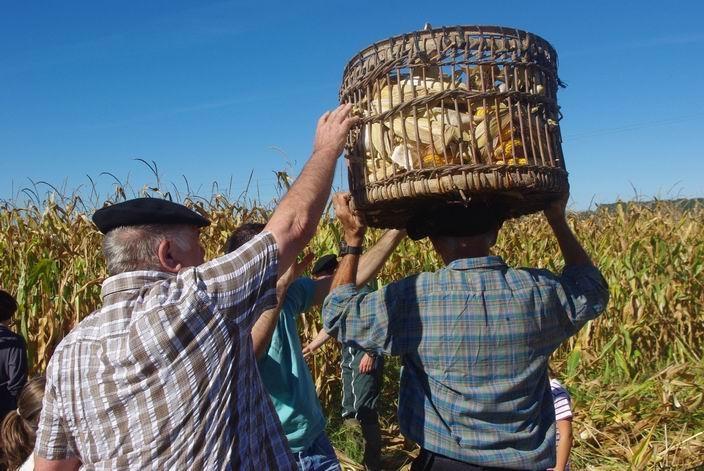 Récolte du maïs à l'ancienne à Bernède dans le Gers . Le maïs,c'est aussi le patrimoine! (ph Paysudtv)