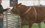 La vache la plus chère de France:une limousine