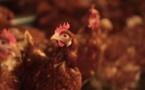 Un appel des aviculteurs afin d'aider à  la libération des poules