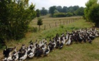 Influenza aviaire:un abattage massif de canards programmé