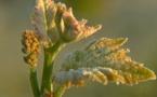 Gelées en Gironde: premier bilan de la chambre d'agriculture