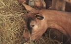 Quand  la chèvre rapproche ville et campagne