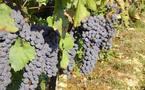 Faut-il ouvrir la porte aux OGM en viticulture?