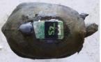 Cistude dotée d'un GPS et d'un émetteur (ph dép.Gironde)