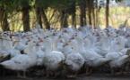 Maïsadour l'assure:on ne manquera pas de foie gras en fin d'année