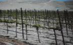 La vigne s'accroche au Moyen-Orient