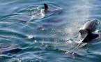 Les dauphins du Golfe de Gascogne menacés selon FNE