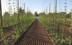 Démarrage d'une filière houblon de terroir en Lot-et-Garonne