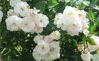 Une rose Jean-Jacques Rousseau marquera le 300e anniversaire de la naissance du philosophe