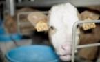 L'agrément de l'abattoir de veaux de Sobeval suspendu