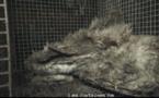 Elevage de canards des P-A: la profession condamne
