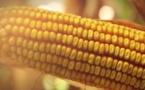 Le maïs français face aux caprices du climat