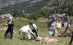 Le  Sénat ouvre la chasse au loup dans des zones  d'exclusion