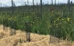 Château Dubraud: vitiforesterie à la place du travail du sol