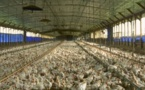 L'Europe coupe les ailes aux exportations de volailles