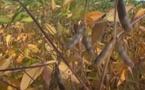 Vivadour et Maïsadour dopent le soja sud-ouest non OGM