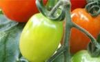 Tomates bios (ph Interbio)