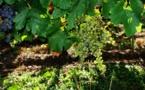 Une récolte de vin impactée par le mauvais temps et le millerandage dans le Bordelais