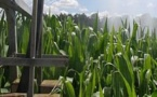 Maïs OGM: le gouvernement interdit sans attendre la loi