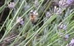 Le Réseau biodiversité s'inquiète des menaces sur le garde manger des abeilles