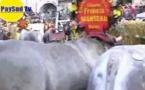 La région Aquitaine relance l'élevage de la race bovine bazadaise